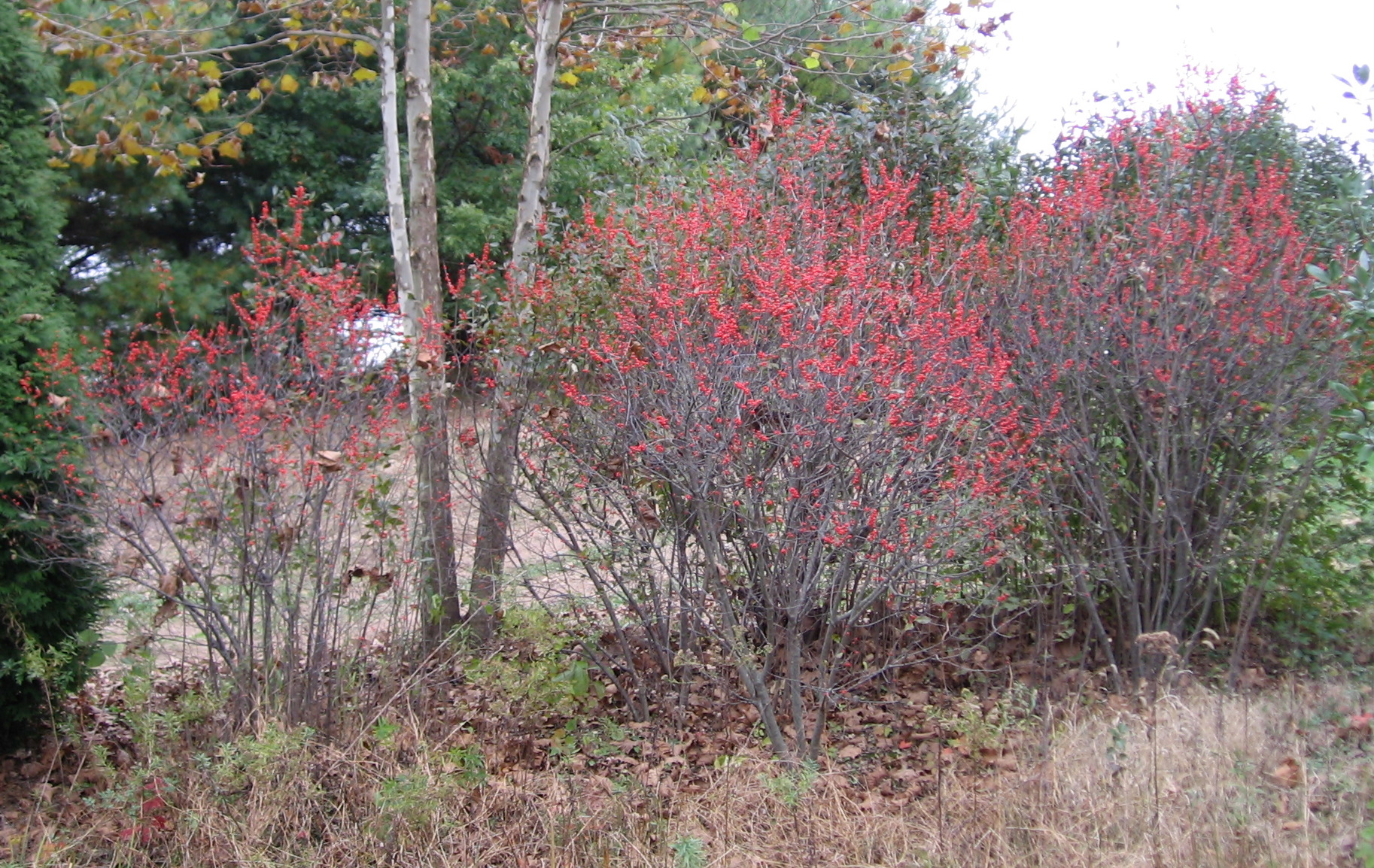 'Tiasquam' Bushes