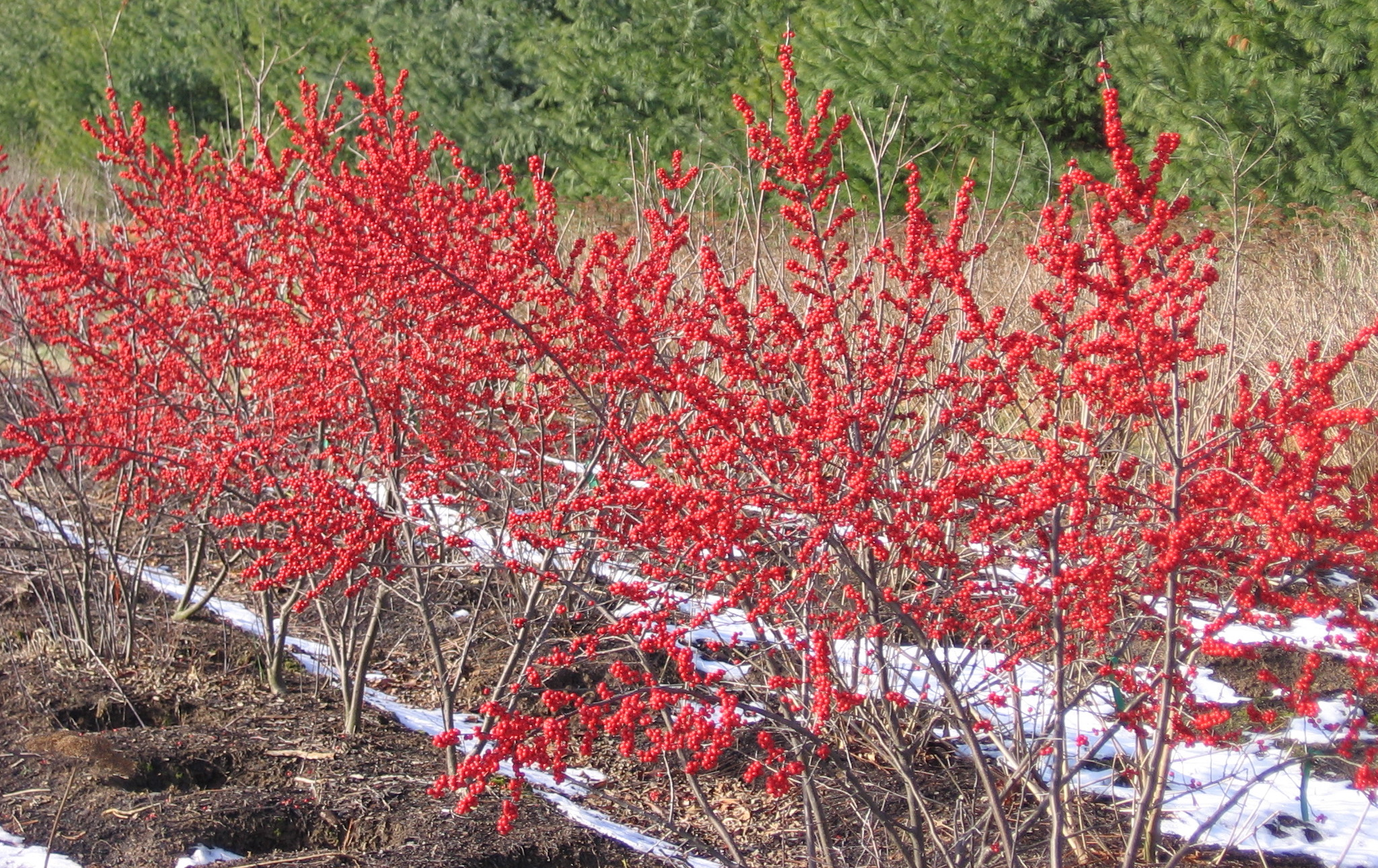 'Winter Red' Bushes