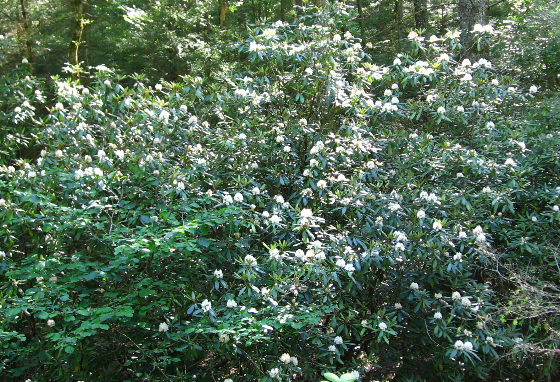 Rhododendron maximum in the Wild
