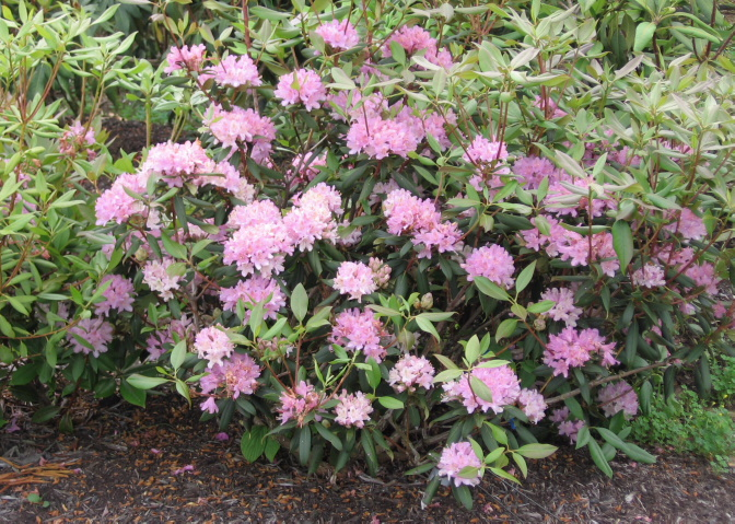 Carolina Rhododendron, Rhododendron minus