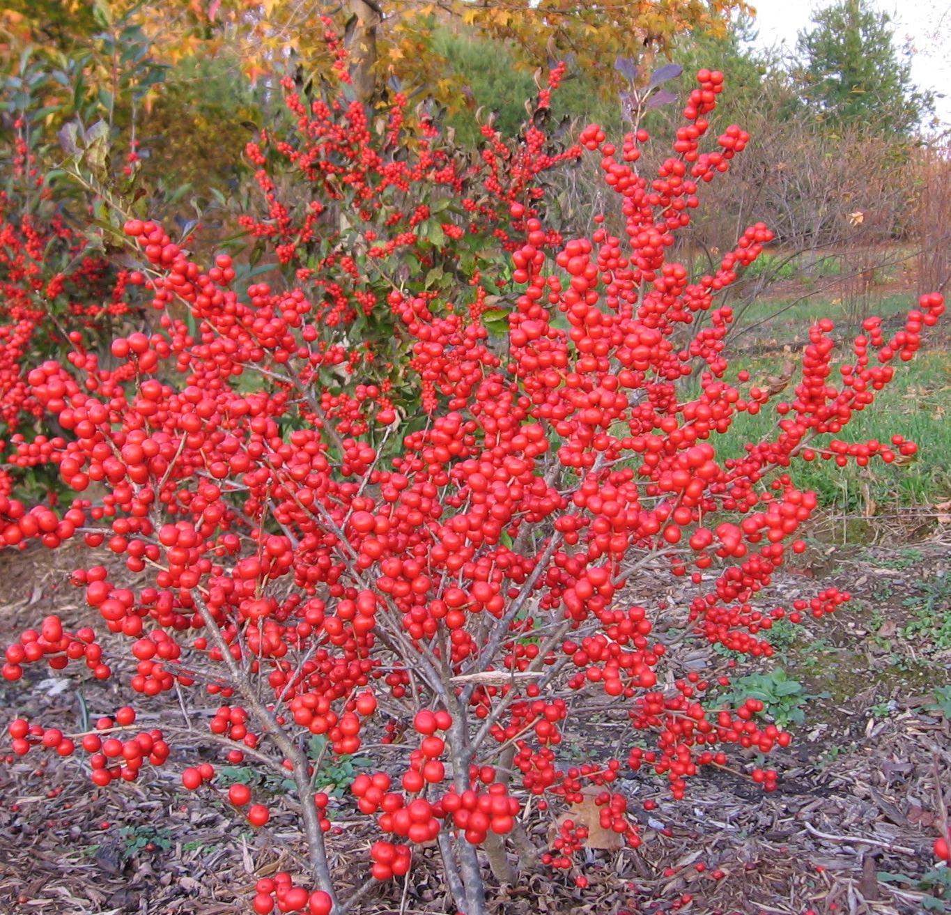 'Red Sprite' Berries